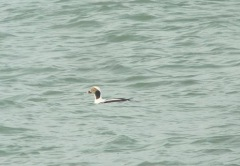 Long-tailed duck galore!